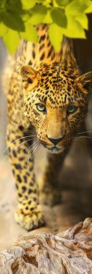 Фотообои Леопард артикул 110025