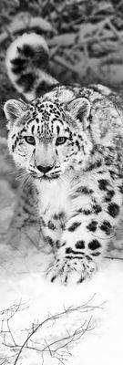 Фотообои Снежный барс артикул 110029