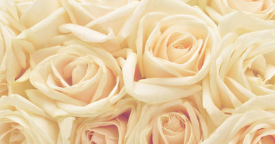 Фотообои Чайная роза артикул 230008