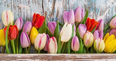 Фотообои Тюльпаны артикул 230314