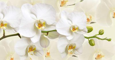 Фотообои Белая орхидея артикул 230343