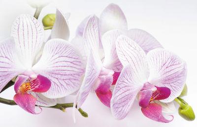 Фотообои Орхидея артикул E230436