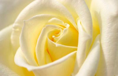Фотообои Бутон белой розы артикул LA230521